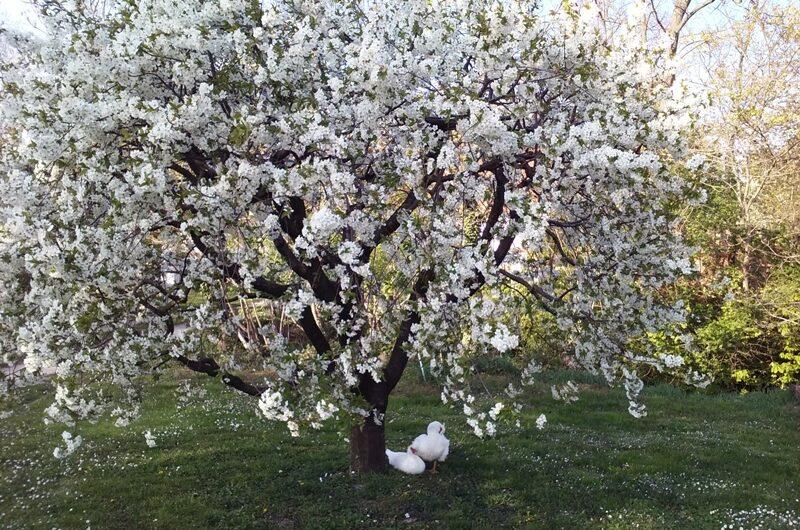 Enten unterm Blütenbaum