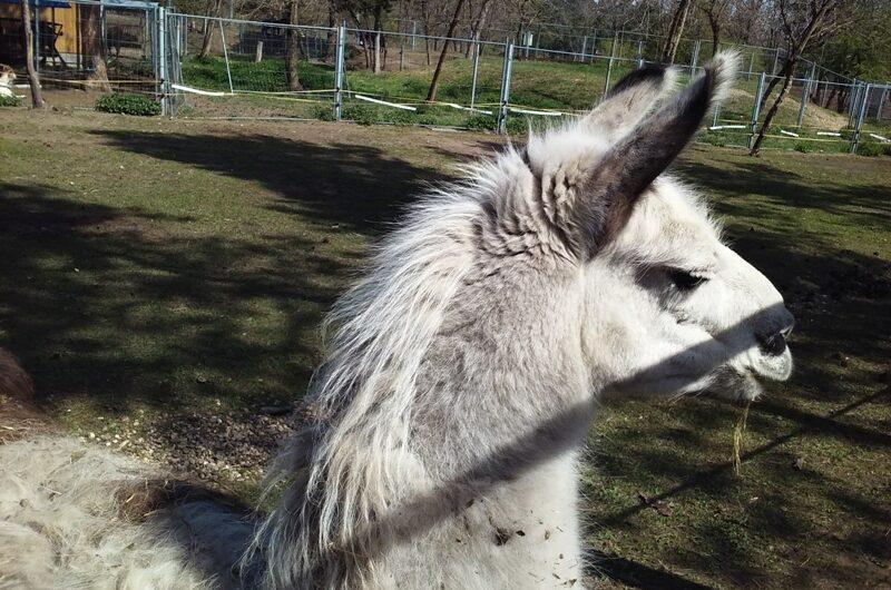 Lama's stolzer Blick