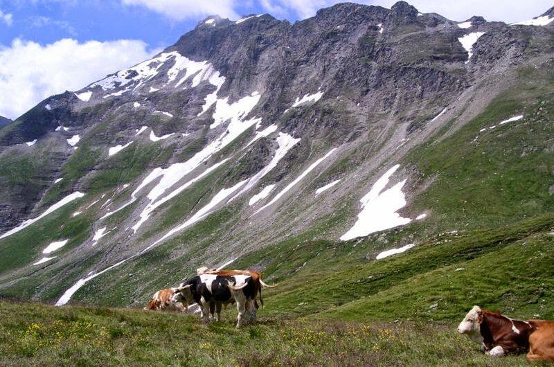 Kühe am Tauernhöhenweg