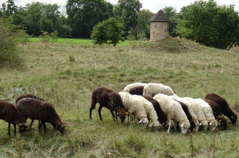 Schafe vor dem Pulverturm