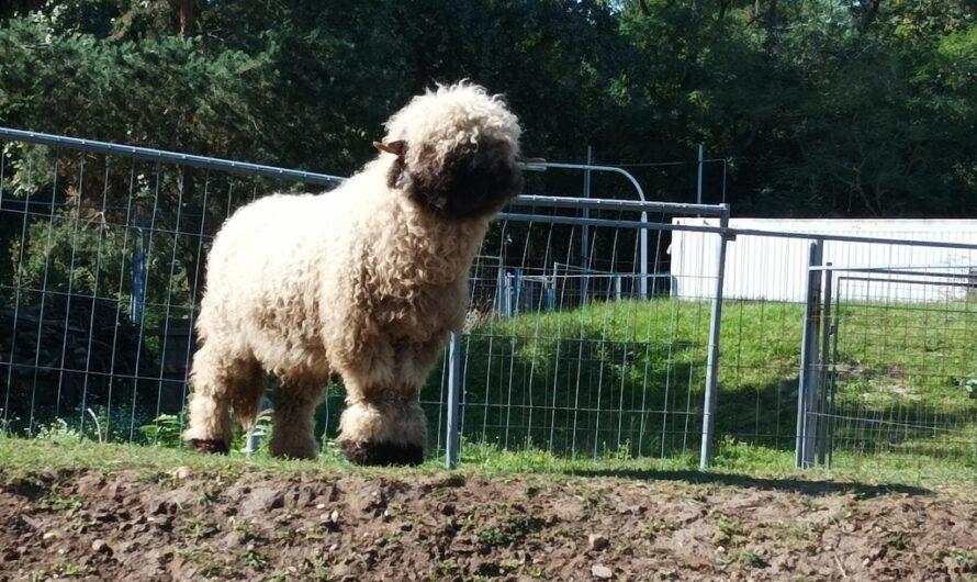 Neues Schaf auf der Ranch